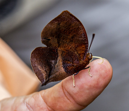 Belize; Belize City; Bacab Eco Park;  Red Striped Leafwing Butterfly(Siderone galanthis)