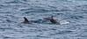 Belize; Southwater Cay; Dolphins; Bottlenose Dolphin (Tursiops truncatus)