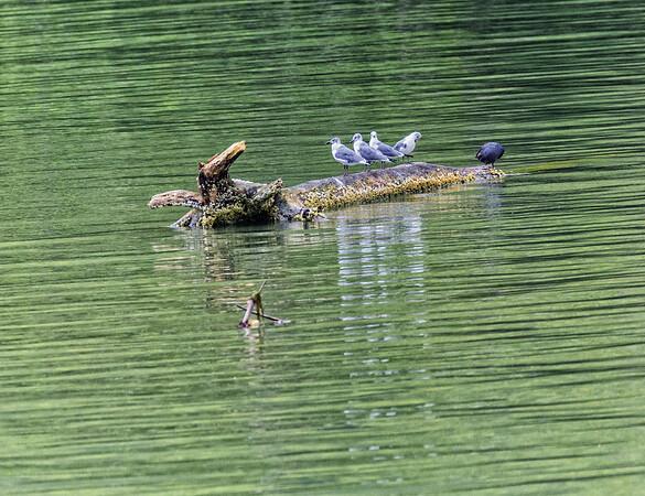 Guatemala; Rio Dulce Gorge; Laughing Gull- First Base (Larus atricilla)