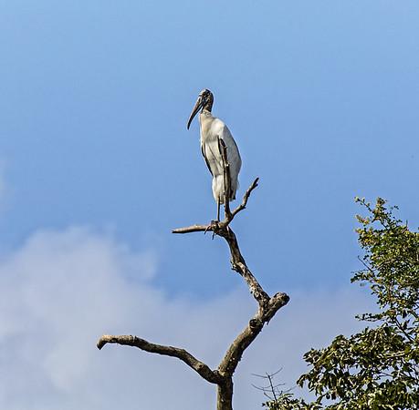 Crooked Tree Wildlife Sanctuary; Wood Stork (Mycteia americana);  Belize; Belize City