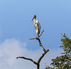 Crooked Tree Wildlife Sanctuary; Wood Stork (Mycteia americana);  Belize; Belize City