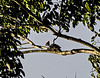 Morning bird watching on the  Chaconmachaca River; Lineated Woodpecker (Dryocopus lineatus)