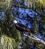 Belize; Southwater Cay; Magnificent Frigatebird- Juvenile (Fregata magnificens)