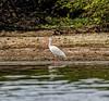 Crooked Tree Wildlife Sanctuary; Birds Eye View Lodge, Belize; White Ibis ( Eudocimus albus)
