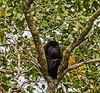 Casa Guatemala; Golden Mantled Monkey (Alouatta palliata); Guatemala