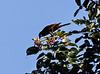 Morning bird watching on the  Chaconmachaca River; Montezuma Oropendola (Psarocolius montezuma)