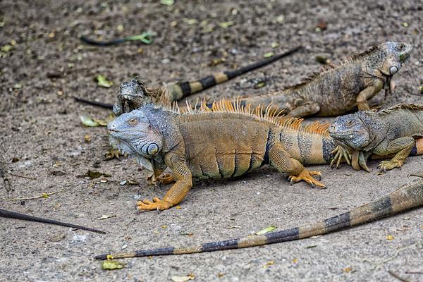 Roatan; Handuras; Iguana Farm; Green Iguana(Iguana iguana)