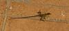 Belize; Punta Gorda; Nim Li Punit Mayan Ruins; Basilisk Lizard(Basilliscus basilliscus)