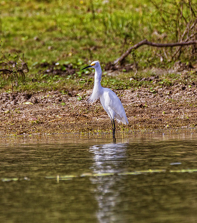 Belize;  Crooked Tree Wildlife Sanctuary; Snowy Egret(Egretta thula)