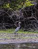 Crooked Tree Wildlife Sanctuary; Belize; Great Blue Heron (Ardea herodias)