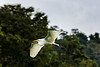 Sailing up the Rio Dulce George; Great Egret (Casmerodius albus); Guatemala