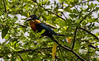 Crooked Tree Wildlife Sanctuary; Birds Eye View Lodge, Belize; Pygmy Kingfisher( Chloroceryle aenea)