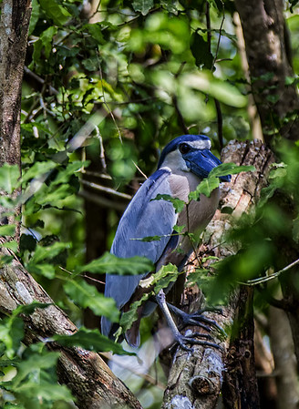Crooked Tree Wildlife Sanctuary;  Boat-Billed Heron (Cochlearis cochlearius); Belize; Belize City