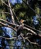 Southwater Cay; Belize;  Double- Crested Cormorant (Phalacrocorax auritus)