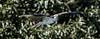 Guatemala; Rio Dulce Geroge;osprey (padion haliaetus) fish hawk