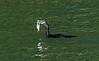 Guatemala; Rio Dulce Geroge;Double-Crested Cormorant(Phalacrocorax)