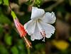 Belize; Placencia; White Hibiscus(Coccineus)