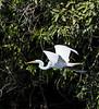 Guatemala; Rio Dulce Geroge;Great Egret (Casmerodius Albus)