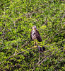 Crooked Tree Wildlife Sanctuary; Birds Eye View Lodge, Belize; Snail Kite ( Rostrhamus sociabilis)