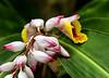 Belize; Belize City; Bacab Eco Park; Shell Ginger(Alpinia zerumbet)
