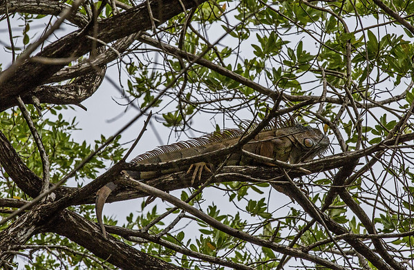 Roatan; Fantasy Island Beach Resort Dive & Marina; Handuras ;Green Iguana(Iguana iguana)