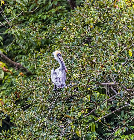 Sailing up the Rio Dulce George; Brown Pelican (Pelecanus occidentalis)