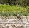 Crooked Tree Wildlife Sanctuary; Birds Eye View Lodge; Belize; Limpkin (Carao aramus quarauna)