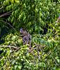 Guatemala; Rio Dulce Gorge; Green Iguana (Iguana iguana)- Female
