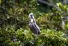 Guatemala; Rio Dulce Geroge; Brown Pelican (Pelecannus occidentalis)