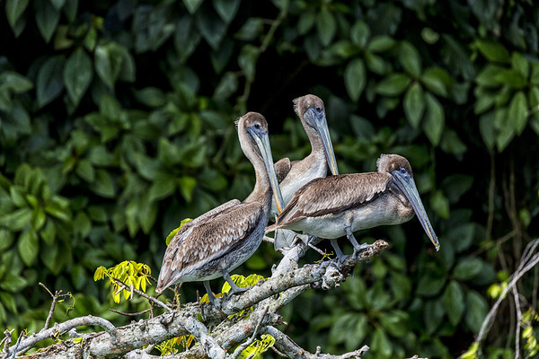 Guatemala; Rio Dulce Geroge; Brown Pelican (Pelecannus occidentalis) juvenile