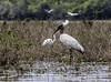 Crooked Tree Wildlife Sanctuary; Birds Eye View Lodge, Belize; Wood Stork (Mycteria americana)