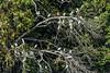 Guatemala; Rio Dulce Geroge;Snowy Egret(Egretta thula)