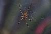 Handuras; Utila; Exploring around the inside of the Jade Seahorse in Utila; Banana Spider (Argiope aurantia)