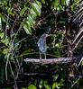 Morning bird watching on the  Chaconmachaca River; Green Heron (Butorides virescens)