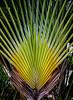 Belize; Placencia;  Travelers Palm Tree(Ravenala madagascariensis)