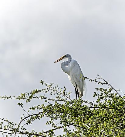 Crooked Tree Wildlife Sanctuary; Belize; Great Egret (casmerodius albus);