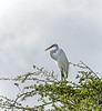 Crooked Tree Wildlife Sanctuary; Belize; Great Egret (casmerodius albus);