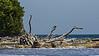 Belize:Lime Cay,  Osprey (Pandion haliaetus)