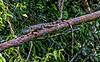 Guatemala; Rio Dulce Geroge; Green Iguana(Iguana iguana)