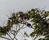 Morning bird watching on the  Chaconmachaca River; Keel-Billed Toucan (Ramphastos sulfuratus)