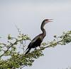 Crooked Tree Wildlife Sanctuary; Birds Eye View Lodge, Belize; Anhinga ( Anhlnga anhinga )