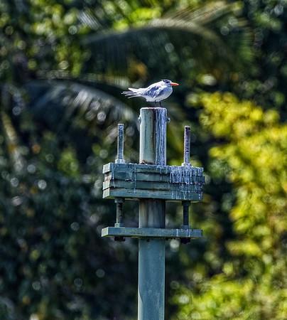 Guatemala; Rio Dulce Geroge; Royal Tern (Thalasseus mavimus)