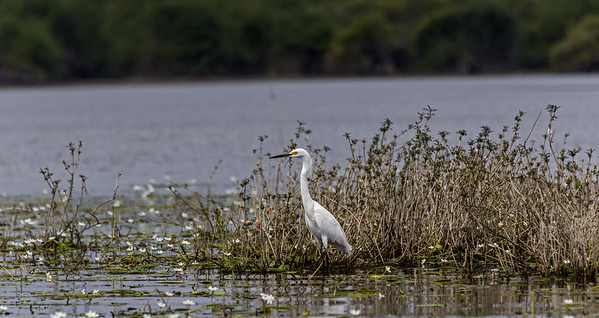 Crooked Tree Wildlife Sanctuary; Birds Eye View Lodge, Belize; Snowy Egret ( Egretta thula)