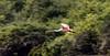 Crooked Tree Wildlife Sanctuary; Birds Eye View Lodge, Belize; Roseate spoonbill (Ajaia ajaja)