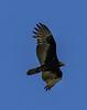 Guatemala; Rio Dulce Geroge;Turkey Vulture (Cathartes aura)