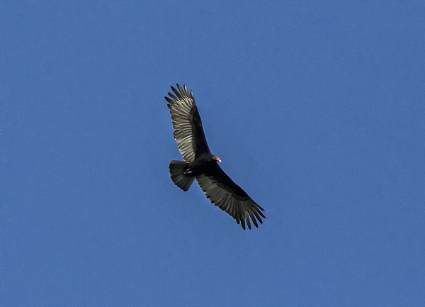 Morning bird watching on the  Chaconmachaca River; Turkey Vulture (Cathartes aura)