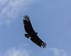 Guatemala; Rio Dulce Geroge; Black Vultuer(Coragyps atratus)