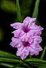 Belize; Belize City; Bacab Eco Park; Dwarf Pink Ruellia(Ruellia sp)