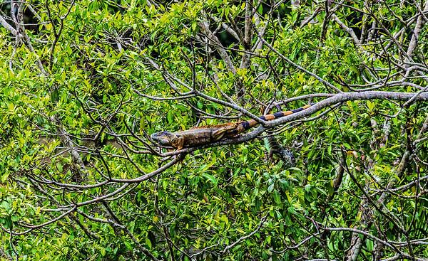 Guatemala; Rio Dulce Gorge; Green Iguana (Iguana iguana)- Male