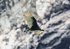 Sailing up the Rio Dulce George; Turkey Vulture (Cathartes aura); Guatemala;